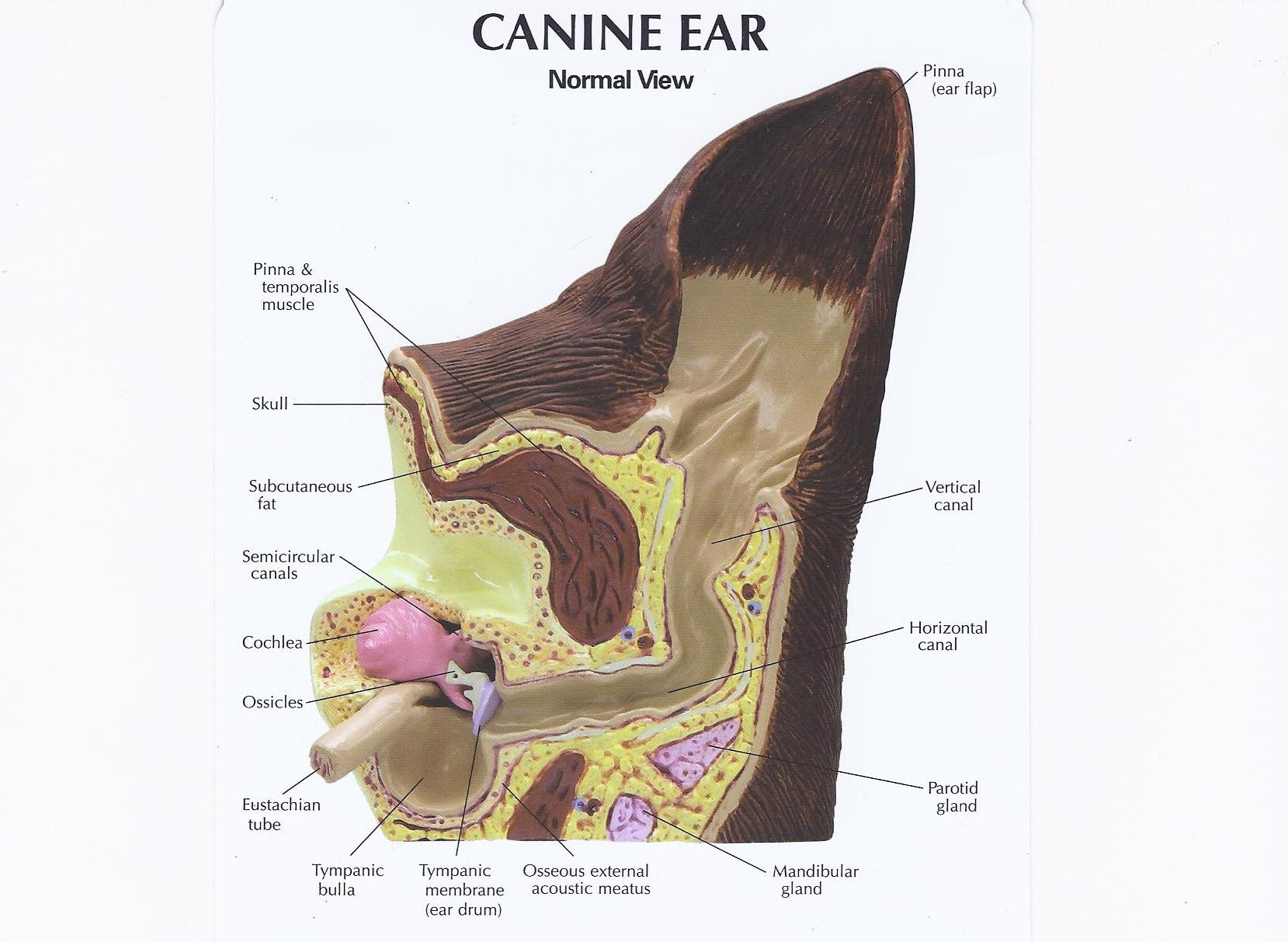 Cleaning Your Dogs Ears Animal Hospital Of Hasbrouck Heights