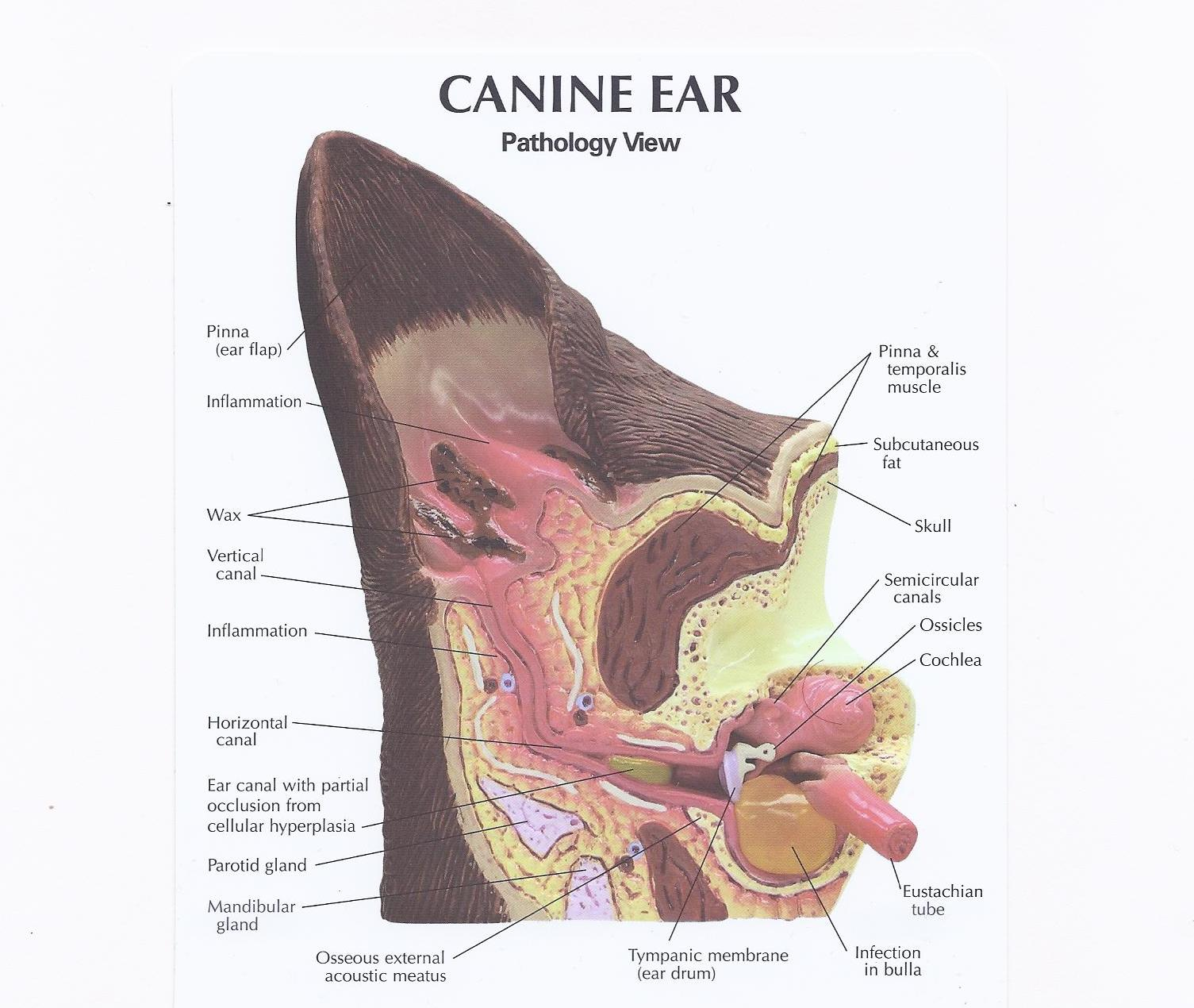 Canine Ear Normal Pathology