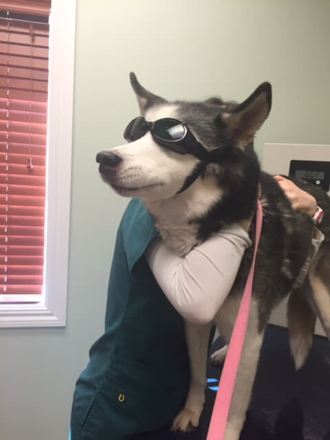 Companion Laser Therapy Animal Hospital Of Hasbrouck Heights